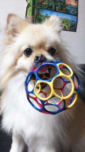 うちのポメラニアンは、オーボールが一番好き♪