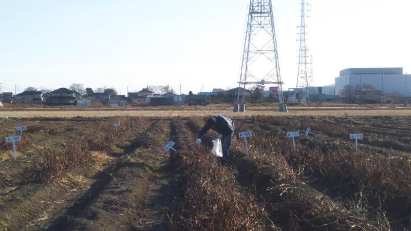 荒れ果てたように見える畑からは、しっかりと実った大粒の黒豆がたくさん収穫できました。