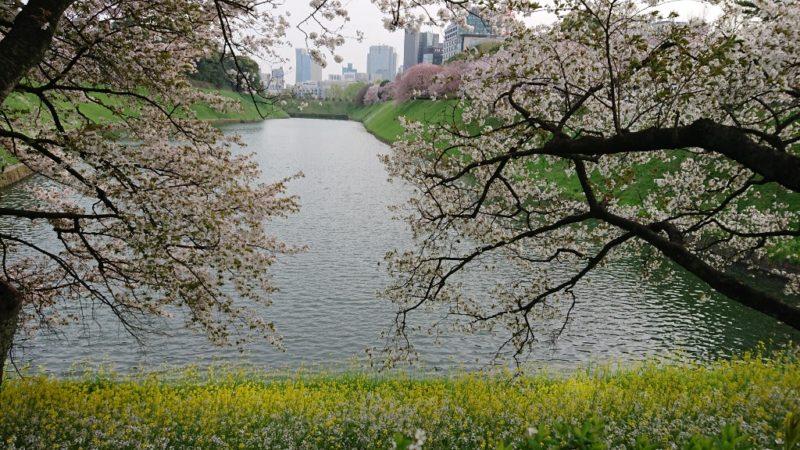 桜と菜の花のコントラストが美しい。