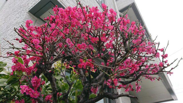 息子の大学受験のことが心配で、梅の花が咲いていたことにも気づいていませんでした。